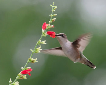 Sage Experts: Nancy Newfield, Hummingbird Gardener, Part II