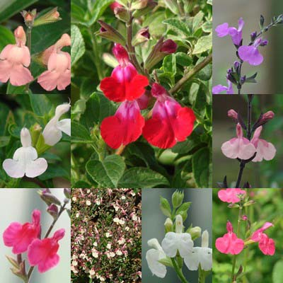Drought-Resistant Beauties: A Guide to the Salvia greggii and S. microphylla Group