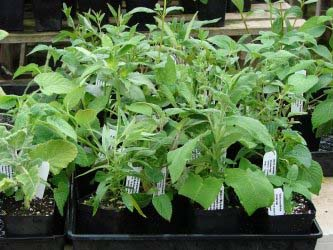 What our Salvias look like when we ship them to you