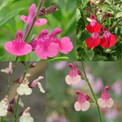 New at FBTS: Suncrest Salvias