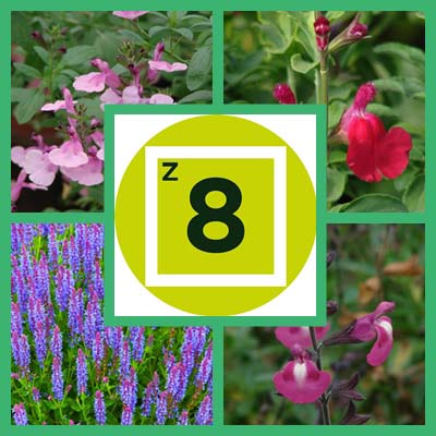 Getting Started: Salvias for Zone 8