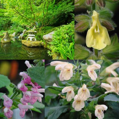 Made for Shade: Japanese Woodland Salvias
