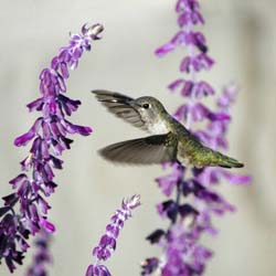 Sage Words about Wildlife: 4 Seasons of Hummingbird Salvias