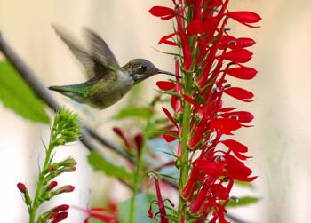 Sage Words About Wildlife: Hummingbirds Love Lobelias