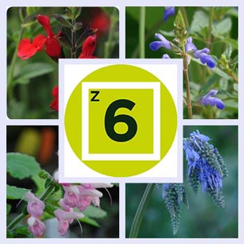 Getting Started: Types of Salvias for Zone 6