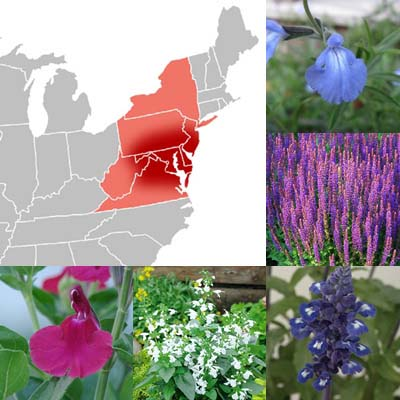 Getting Started: Salvias for the Mid-Atlantic