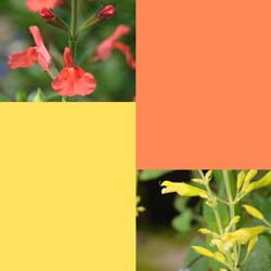 Pantone Pageant Cheerful Lemon Zest and Nectarine Designer Salvias