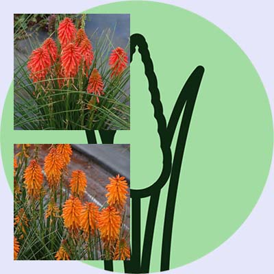 New at FBTS: Going Loco for Poco Kniphofias