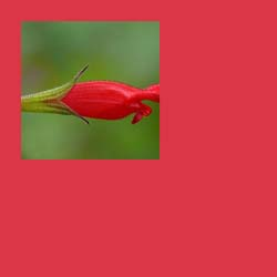 Pantone Pageant: Eye-Popping, Poppy Red Designer Salvias