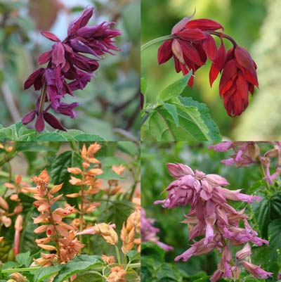 Bedding Plant Royalty: Splendid Salvia Splendens