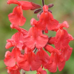 New at FBTS: Vermilion Bluffs Mexican Sage