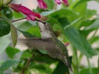 Hummingbirds in the Garden: Attracting Hummingbirds to Your Garden