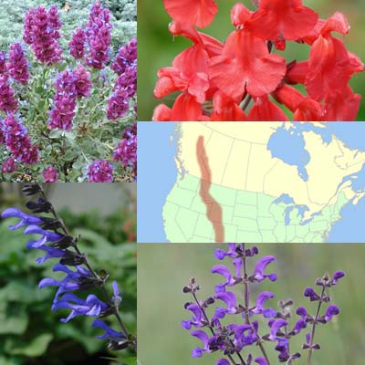 Getting Started: Salvias for the Rocky Mountain West