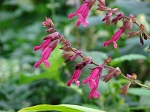 Salvia x 'Wendy's Wish'
