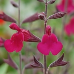 Salvia Raspberry Delight®