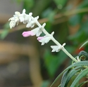 Salvia leucantha 'Danielle's Dream'