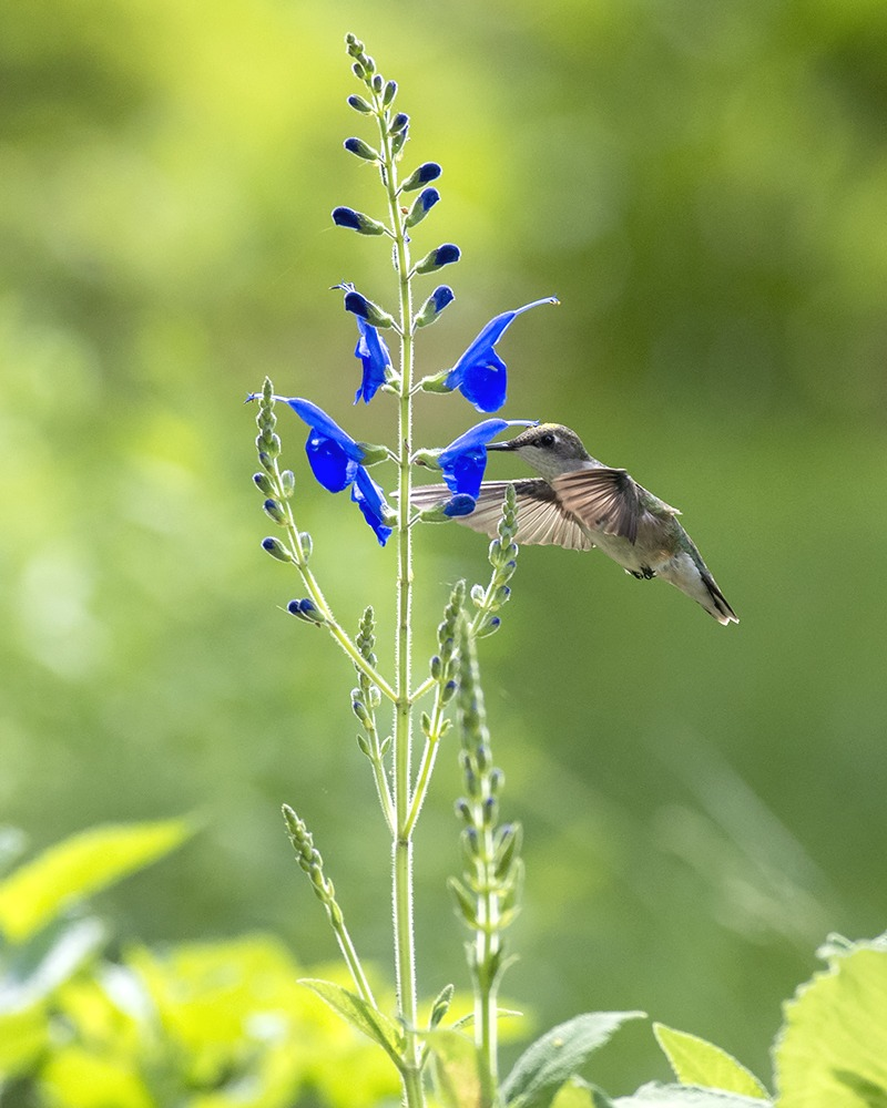 6 Indispensable Hummingbird Flowers for Long Easy Bloom
