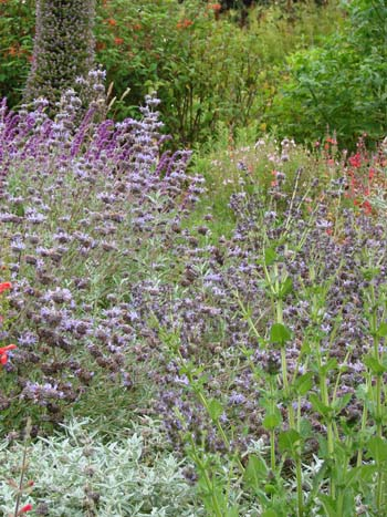 July in the Salvia Garden