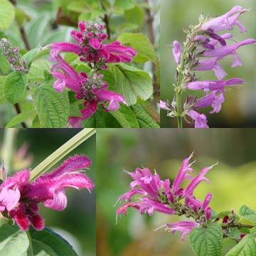Winter Blooming Salvias (Part III)