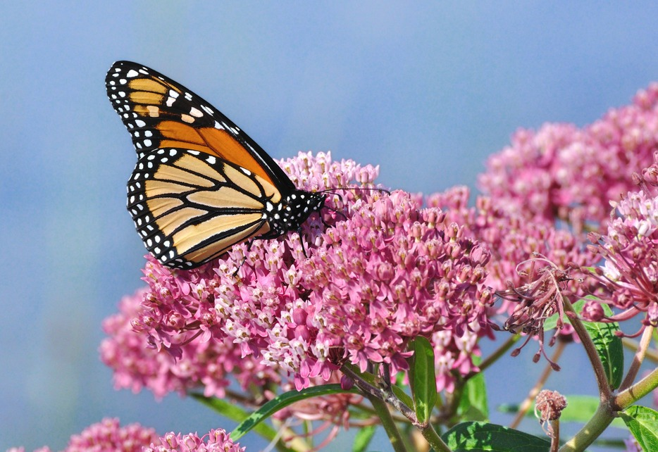 Ask Mr. Sage: Which Milkweed Is Right for My Garden?