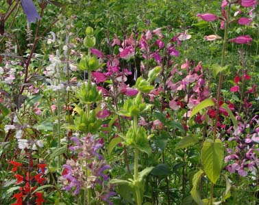 Using Salvias in Flower Arrangements