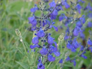 Happy Hybrid Surprises from Salvia greggii and microphylla
