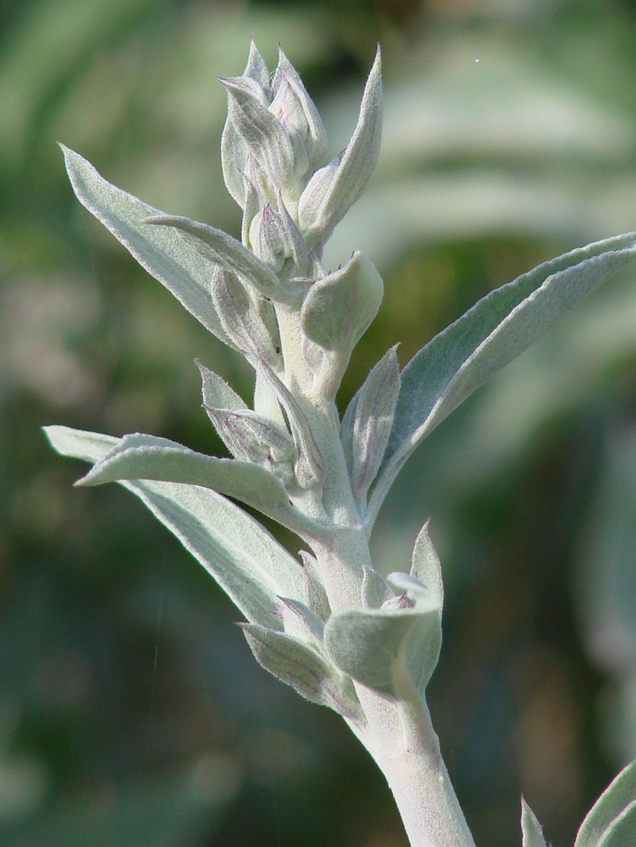 A Guide to Growing and Respecting Sacred White Sage