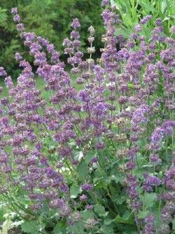 Salvia Soothes Eye, Heart and Honeybees in Remembrance Gardens