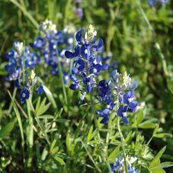 Salvias Down South: Tough Texans Sing the Blues