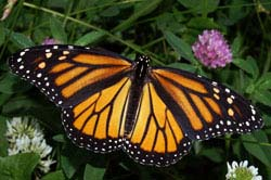Sage Words About Wildlife: Threats to Monarch Butterfly Migration