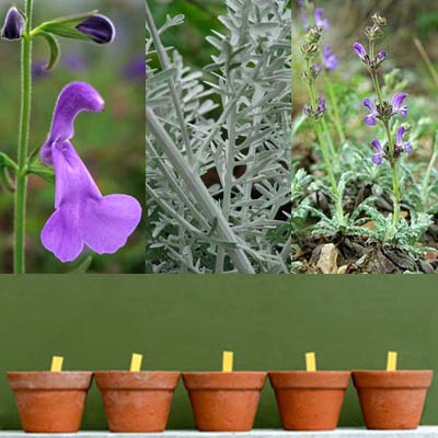 Ask Mr. Sage: What Salvias Grow Well in Containers?