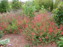 Quick Digs: Spring Weeds in Salvia Gardens