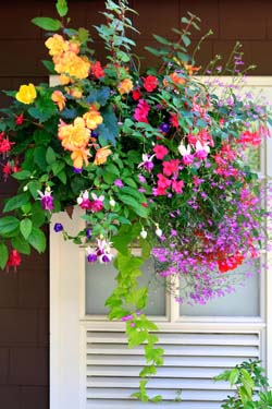 Container Gardening: 32 Salvias and Companions for Hanging Baskets