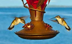 Sage Words About Wildlife: Birdbath and Hummingbird Feeder Care