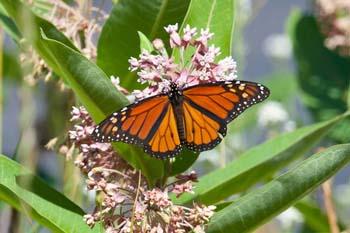 Growing Habitat: Three Tough Milkweeds To Help Monarchs