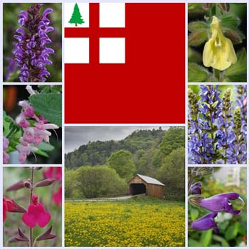 Getting Started: Salvias for New England