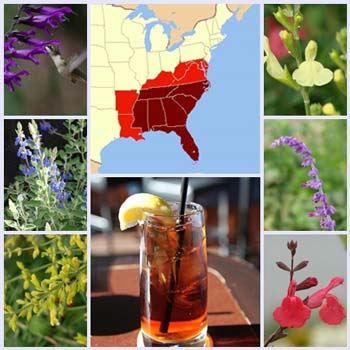 Getting Started: Salvias for the Coastal Southeast