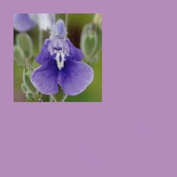 Pantone Pageant: 15 Designer African Violet Salvias and Companions