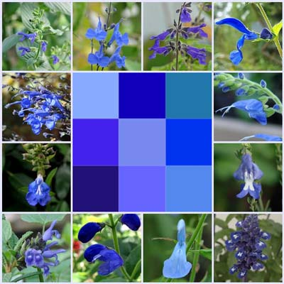 True Blue Salvias You Can Rely On for Garden Serenity