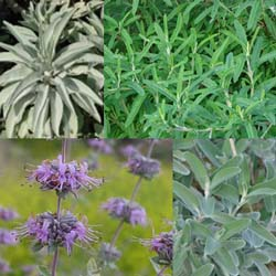 Salvia Small Talk: Growing a Native Sage Garden