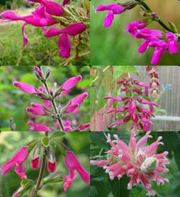 Salvias Down South 15 Sages to Pink Up Landscapes