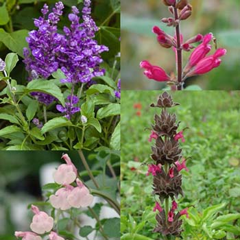 Getting Started: What Are Salvias?