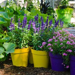 Quick Digs: Treating Salvias as Bedding Plants
