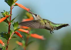 Cupheas are Hummingbird Favorites