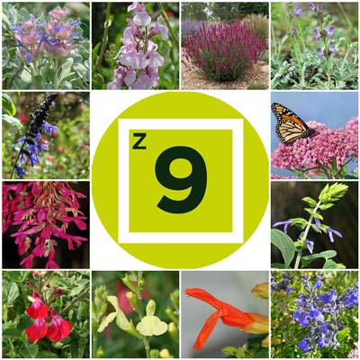 Getting Started: Salvias for Zone 9