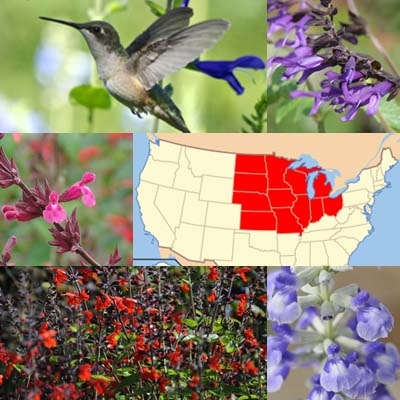 Getting Started: Salvias for the Midwest