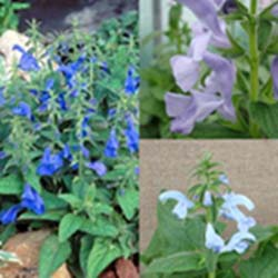 Patio Series Gentian Sage