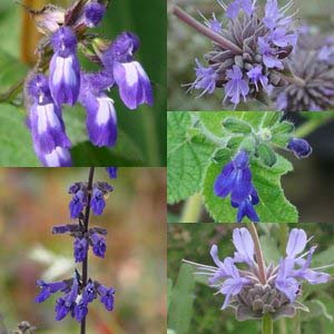 Winter Blooming Salvias (Part II)