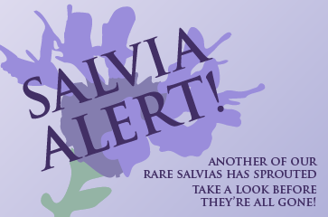 Ask Mr. Sage: How to Buy Salvia Alert Plants