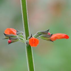 Salvia orthostachys